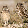 Juvenile and adult Burrowing Owls