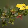 Common Primrose Willow and honey bee