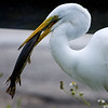 Great Egret with a gar