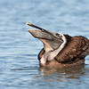 Brown Pelican