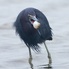Little Blue Heron with puffer fish
