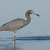 Little Blue Heron with minnow