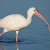 White Ibis with eel