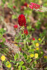 Wildflower, near St. Mark's National Wildlife Refuge, FL