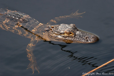 Juvenile American Alligator - St. Mark's National Wildlife Refuge, FL