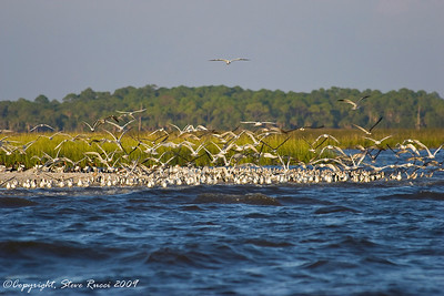 Flock of Black Skimmers, Terns and Gulls taking flight.