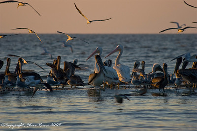 White & Brown Pelicans, Black Skimmers and Gulls.