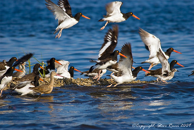 American Oystercatchers and a Marbled Godwit.
