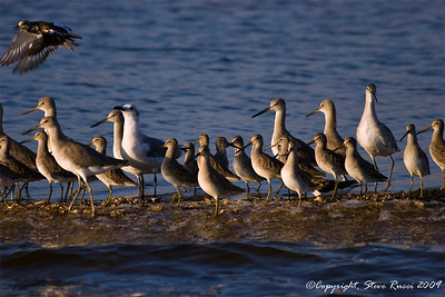 Willets and various birds.