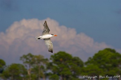 A Tern in flight.