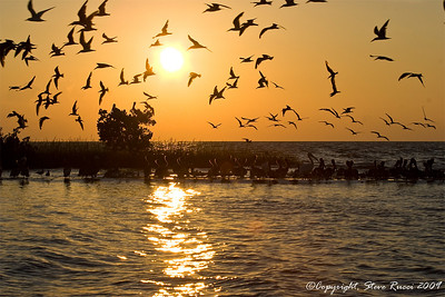 Pelicans with Black Skimmers flying overhead, during a Cedar Key sunset.