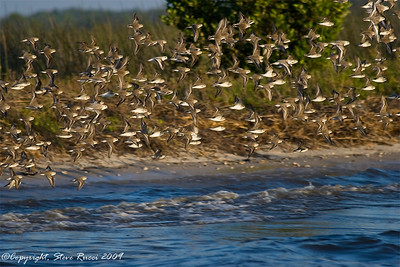 Snowy Plovers taking flight.