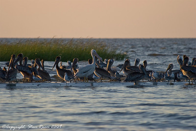 White & Brown Pelicans and Gulls.