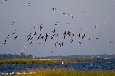 Black Skimmers and Terns in flight.