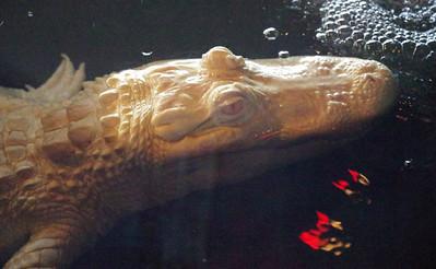 Albino Gator