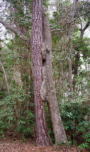 Kissing Tree - Eden Gardens State Park