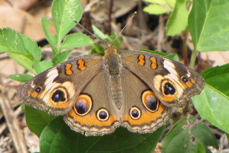 Butterfly, Common Buckeye - Ellel Ministries - English Acres USA - Lithia, FL