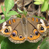Butterfly, Common Buckeye - Ellel Ministries - English Acres USA - Lithia, FL