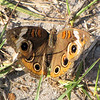 Common Buckeye - Ellel Ministries - English Acres USA - Lithia, FL