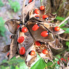 Rosary Pea Vine - One Seed May Contain Enough Poison to Kill an Adult - Ellel Ministries - English Acres USA - Lithia, FL
