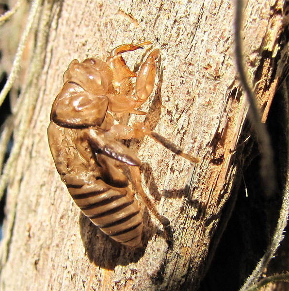 Side View of Cicada Shell Left by Emerging Adult - Ellel Ministries - English Acres USA - Lithia, FL