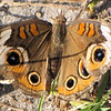 Closeup Common Buckeye - Ellel Ministries - English Acres USA - Lithia, FL