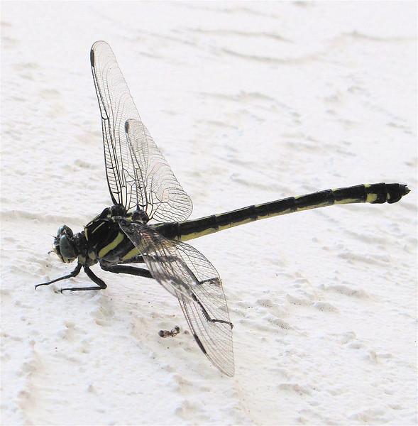 Possible Male Dragonhunter Dragonfly - Ellel Ministries - English Acres USA - Lithia, FL