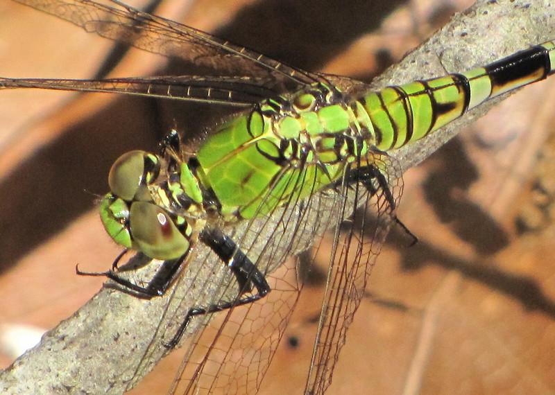 Closeup Eastern Pondhawk Dragonfly, Female - Ellel Ministries - English Acres USA - Lithia, FL