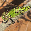 Closeup Eastern Pondhawk Dragonfly, Female - Ellel Ministries - English Acres USA - Lithia, FL
