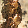 Cicadas Leaves Their Shells - Ellel Ministries - English Acres USA - Lithia, FL