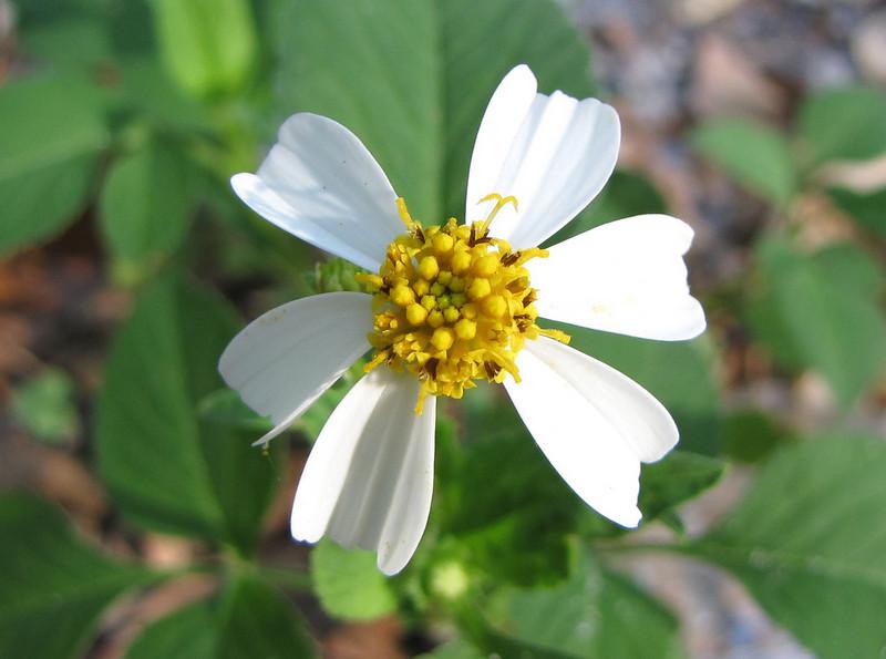 Unknown Meadow Widflower - Ellel Ministries - English Acres USA - Lithia, FL