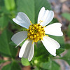 Unknown Meadow Widflower - Ellel Ministries - English Acres USA - Lithia, FL