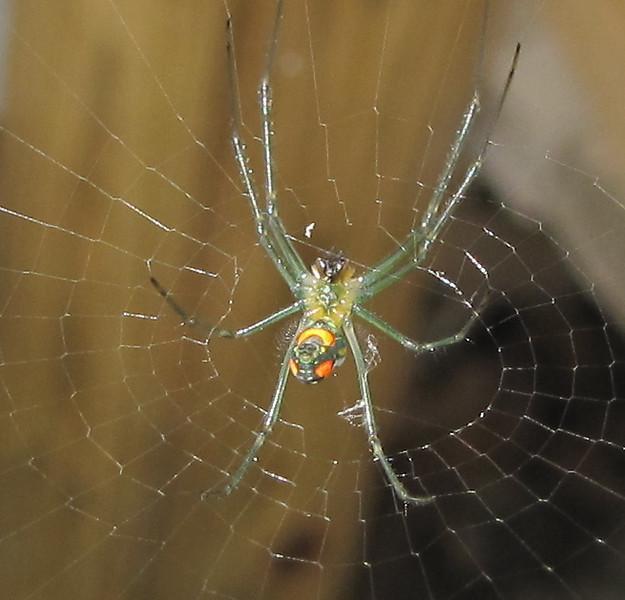 Green-legged Spider - Ellel Ministries - English Acres USA - Lithia, FL