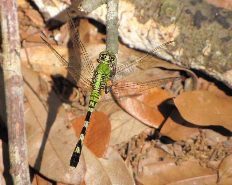 Perching Eastern Pondhawk Female Dragonfly - Ellel Ministries - English Acres USA - Lithia, FL