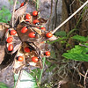 Rosary Pea or Crab's Eyes - Abrus precatorius - Ellel Ministries - English Acres USA - Lithia, FL