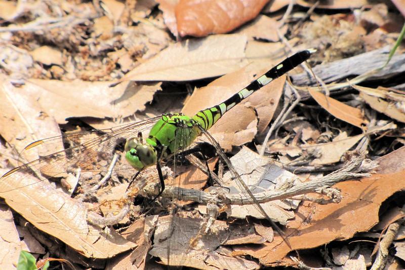 Female Eastern Pondhawk Dragonfly - Ellel Ministries - English Acres USA - Lithia, FL