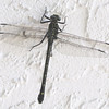 Huge Male Dragonfly - Possible Dragonhunter - Ellel Ministries - English Acres USA - Lithia, FL
