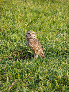 Burrowing Owl - Cape Coral, FL