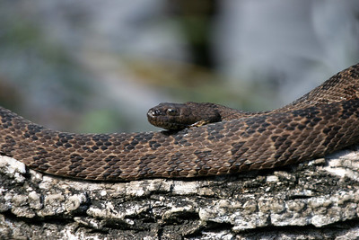 Florida Water Snake (Nerodia fasciata pictiventris) on the Wakulla River