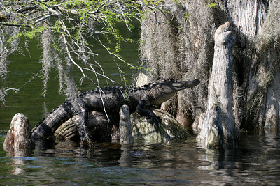 Alligator on the Wakulla River