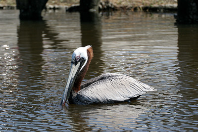 Pelican - Cedar Key