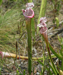 White Top Pitcher Plant (Sarracenia leucophylla Rafinesque) - Florida Panhandle.