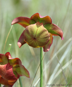 Pitcher Plant Flowers - Florida Panhandle.