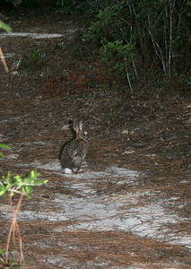 A rabbit along the trail ahead of us.