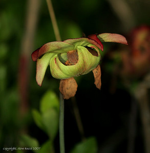 Pitcher Plant Flower - Florida Panhandle.