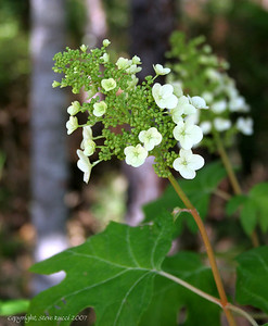 Oak Leaf Hydrangea - Falling Waters State Park