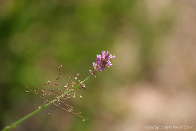 Wildflower - Florida Panhandle