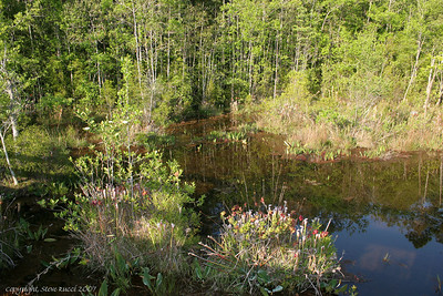 Pitcher Plant Bog - Florida Panhandle