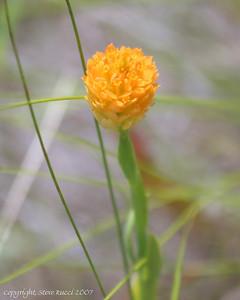 Bog Bachelor-Button (Polygala lutea Linnaeus) - Florida Panhandle.