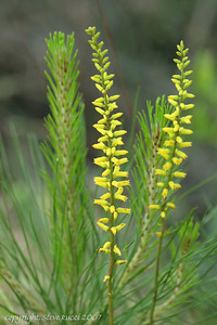 Yellow Colic Root (Aletris lutea Small) - Florida Panhandle